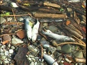 torrente veglia inquinato moria pesci